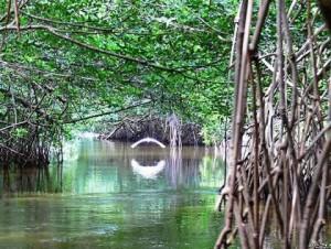 El bosque de Mangle es de suma importancia para la vida acuática