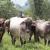 En poder de la OABI se roban 300 cabezas de ganado de los Rosenthal