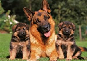 pastor-aleman-con-cachorros