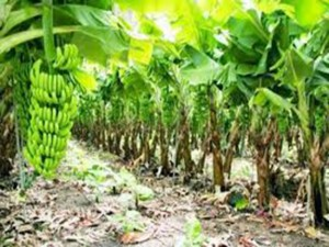 Plantacion Bananera