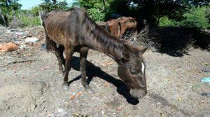 Este caballo fue recuperado por las autoridades salvadoreñas.