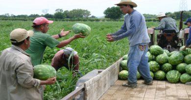 Cae en Honduras la exportación de melón y sandía