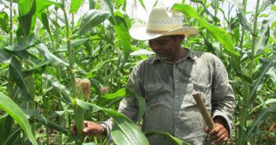Pequeños agricultores de Honduras a la deriva por pérdidas en cosechas