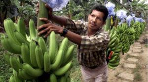 concesiones bananeras en Honduras