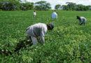 """Se armó la """"potra"""" en el agro hondureño"""