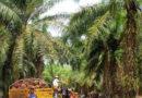 Unión Europea anuncia que ya no comprará aceite de palma
