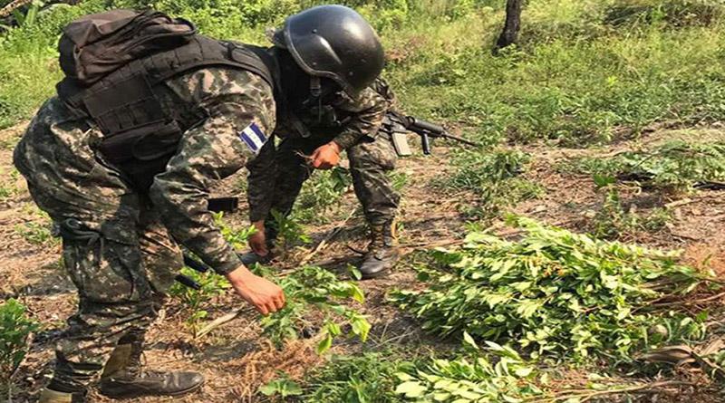 Narcotraficantes comienzan a sembrar Coca en Honduras