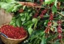 Triajes en sectores cafetaleros deben instalarse antes que comience la cosecha