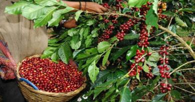 Cafetaleros siguen esperando la respuesta del gobierno para implementar medidas de bioseguridad