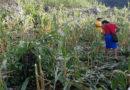 Destruyen 15 manzanas de milpa a indígenas lencas del Copinh