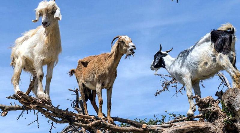 Cabras contra el cambio climático