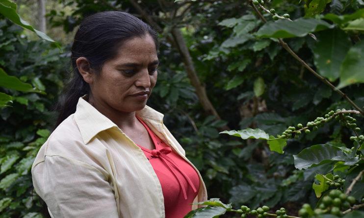 caficultura de Honduras