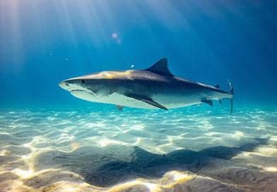 Medio millón de tiburones serían sacrificados para vacuna de coronavirus