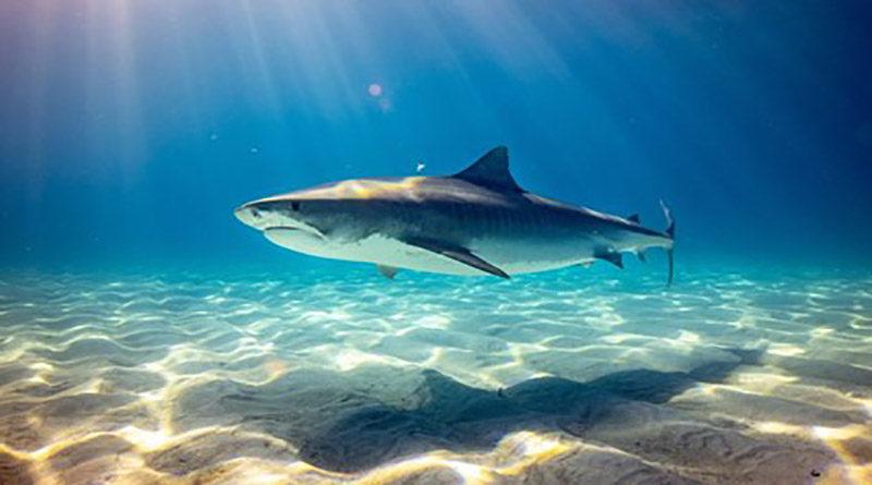 Medio millón de tiburones