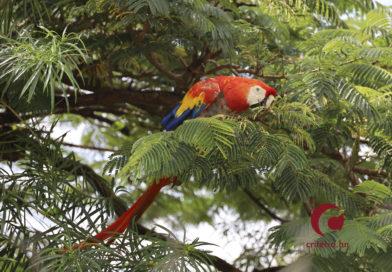 Loros y guacamayas de Honduras bajo amenaza por pérdida de hábitat y tráfico de especies